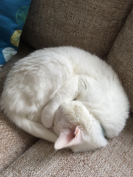 White cat sleeping on couch while curled into a perfect circle