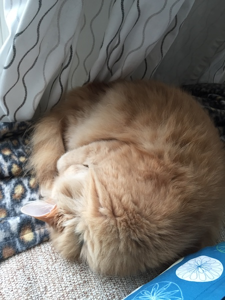 Orange longhair cat sleeping on couch while curled into an approximate circle
